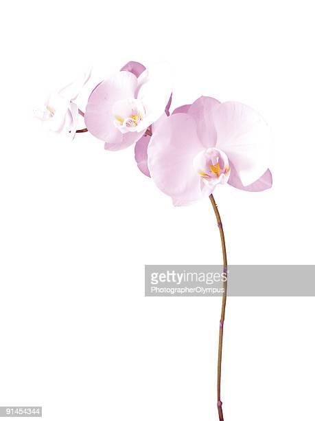 orchidee - orchidea foto e immagini stock