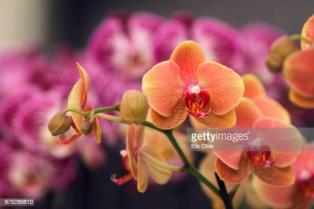 orchids - tropical flower stock photos and pictures