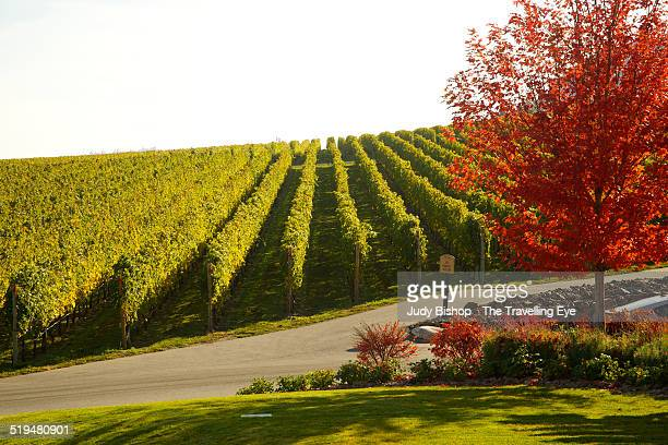 Orderly vineyard rows & Fall's red colors