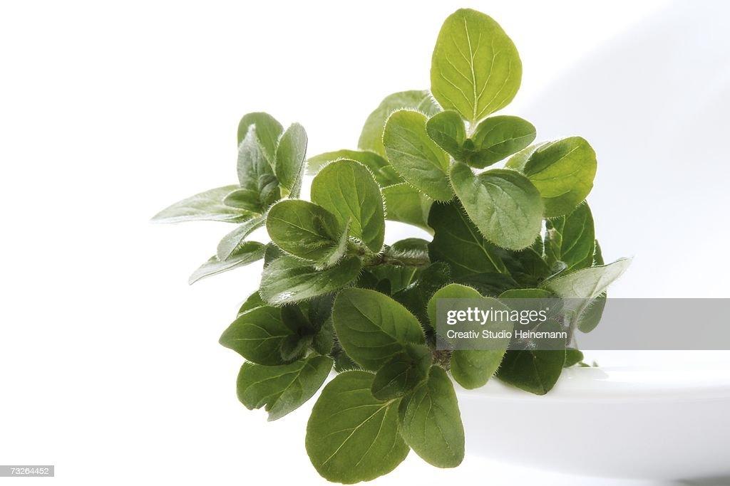 Oregano (Origanum vulgare), close-up : Stock Photo