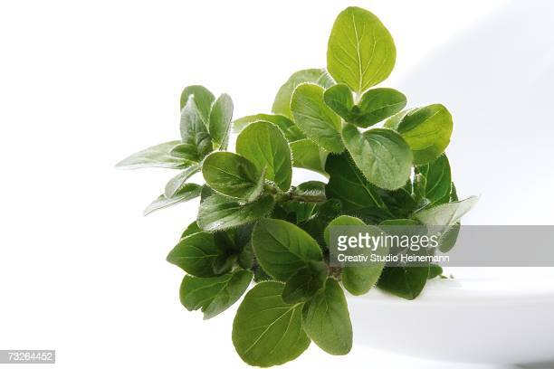 Oregano (Origanum vulgare), close-up