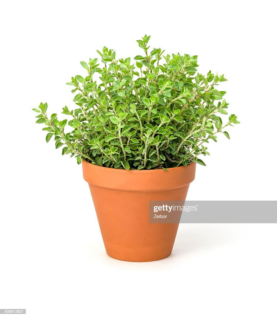 Oregano in a clay pot : Stock Photo