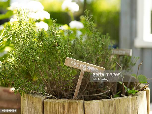 Oregano plant in rustic flower pot in garden
