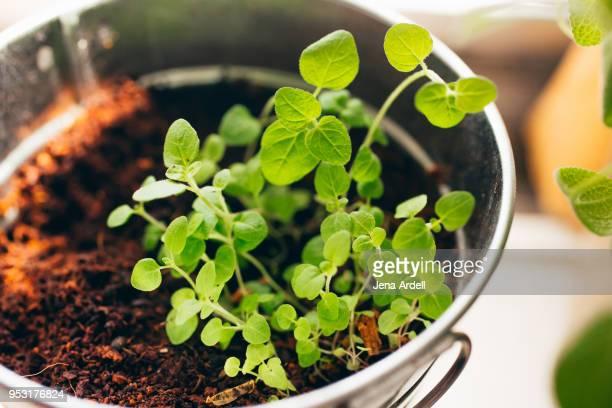 Oregano Potted Indoor Herb Garden On Window Sill