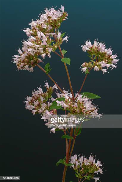 Oregano scientific name Origanum vulgare Oregano is an important culinary herb Folk medicine used oregano as an antiseptic as well as a cure for...