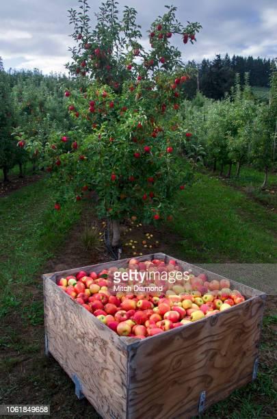 Oregon Apple Orchard