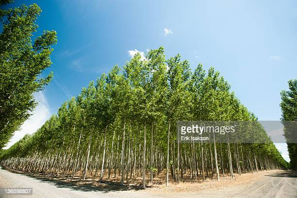 USA, Oregon, Boardman, Wide angle shot of poplar trees in tree farm