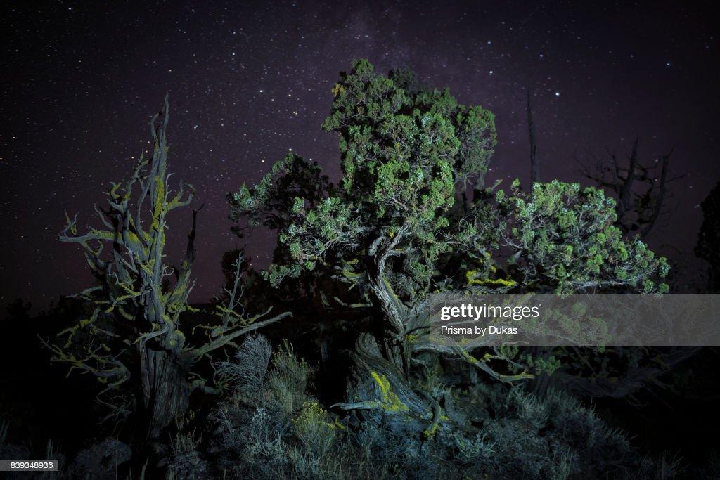 Oregon, Deschutes County, Bend, Ancient Juniper tree in the