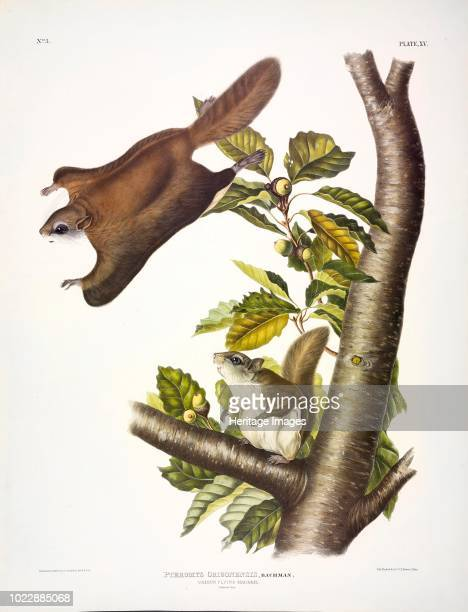 Oregon Flying Squirrel Pteromys Origonensis From The Viviparous Quadrupeds of North America by John J Audubon Pub 1845