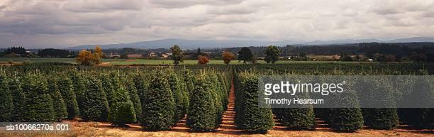 USA, Oregon, Gladtidings, rows of mature Christmas trees