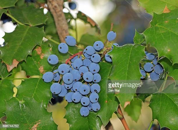 Oregon Grapes, Mahonia aquifolium, Berberis aquifolium, Barbery, Oregon Grape-Holly