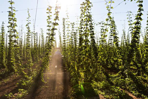 Oregon hopp farm during the summer of 2013