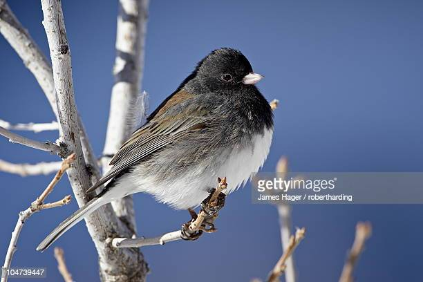 Oregon Junco (Junco hyemalis oreganus), a Dark-Eyed Junco (Junco hyemalis), Roxborough State Park, Colorado, United States of America, North America