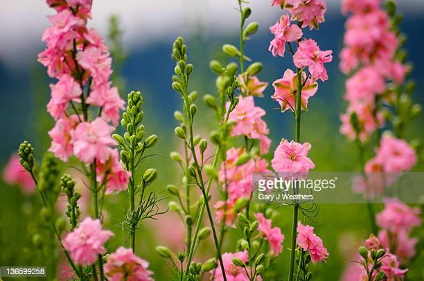 usa, oregon, larkspur flowers - delphinium stock pictures, royalty-free photos & images