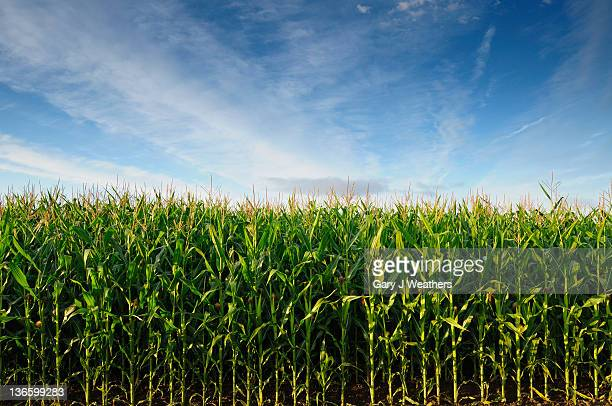 usa, oregon, marion county, corn field - corn stock pictures, royalty-free photos & images