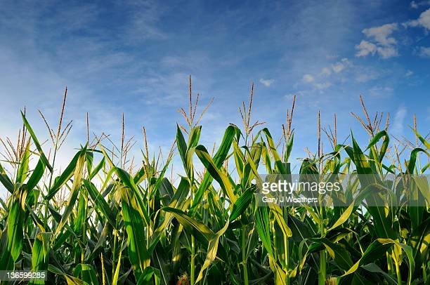 USA, Oregon, Marion County, Corn field