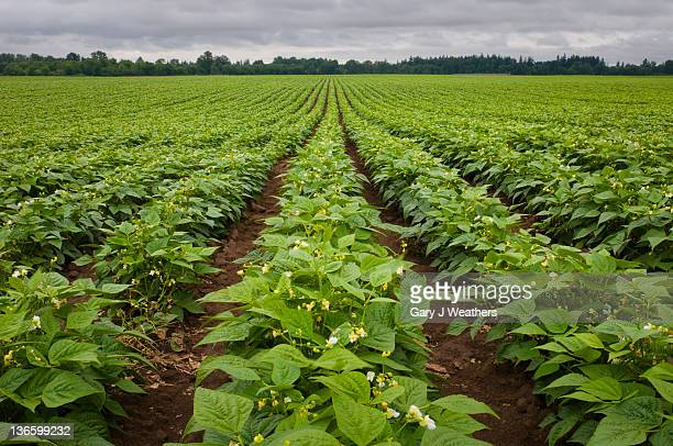 USA, Oregon, Marion County, Field of green beans blooming