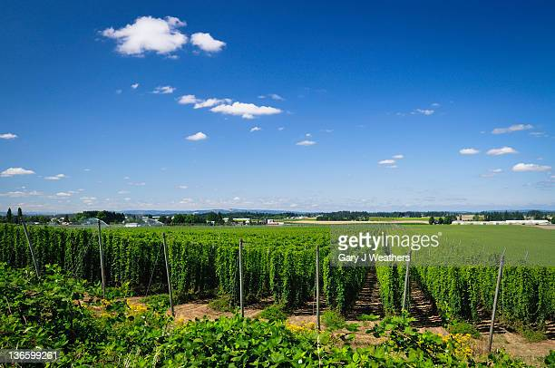 USA, Oregon, Marion County, Hop field