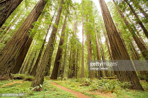 USA, Oregon, Mount Hood, pine tree forest, low angle view