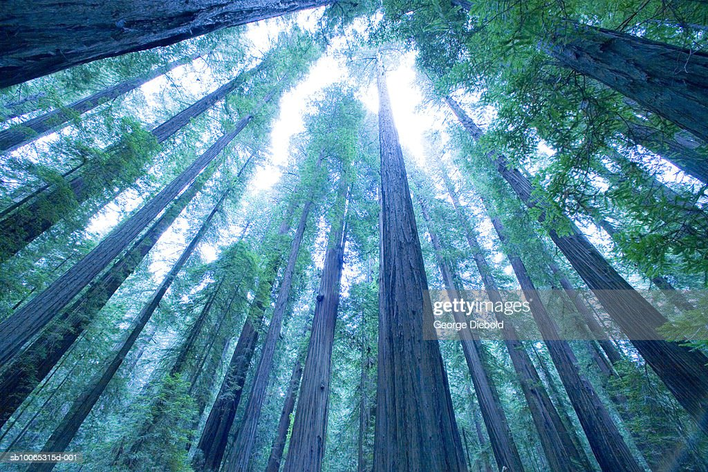 USA, Oregon, Mount Hood, pine tree forest, low angle view : Foto stock