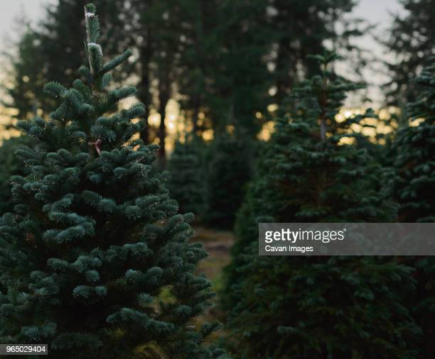 close-up of christmas trees growing at farm - christmas tree farm stock pictures, royalty-free photos & images