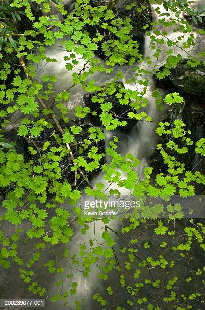 usa, oregon, siskiyou mountains, limpey creek, vine maple leaves - siskiyou stock pictures, royalty-free photos & images