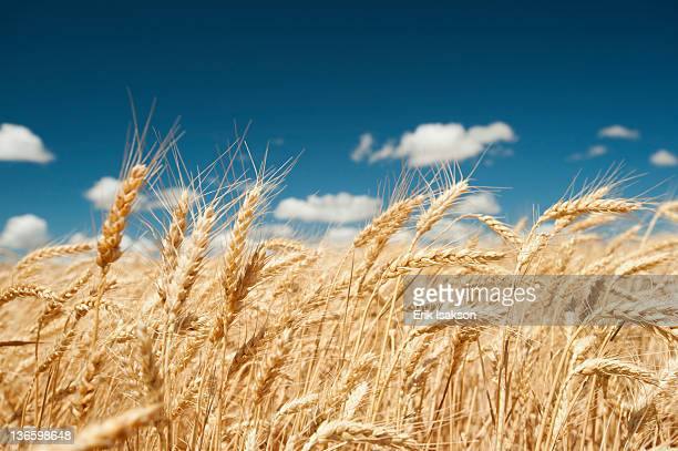usa, oregon, wasco, wheat ears in bright sunshine under blue sky - wheat stock pictures, royalty-free photos & images