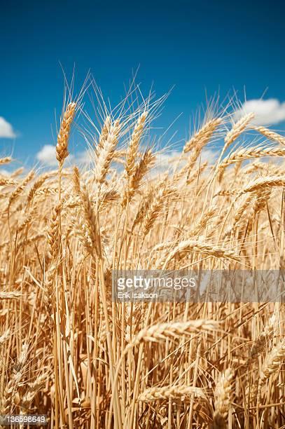 USA, Oregon, Wasco, Wheat ears in bright sunshine under blue sky