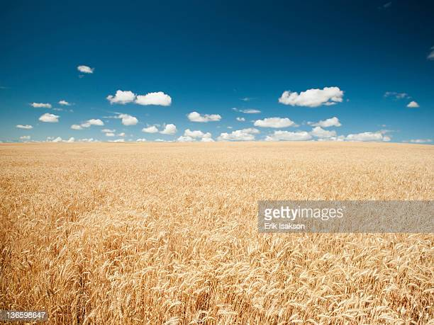 USA, Oregon, Wasco, Wheat field in bright sunshine under blue sky
