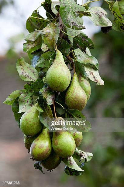 orgainc pears - andrew dernie photos et images de collection