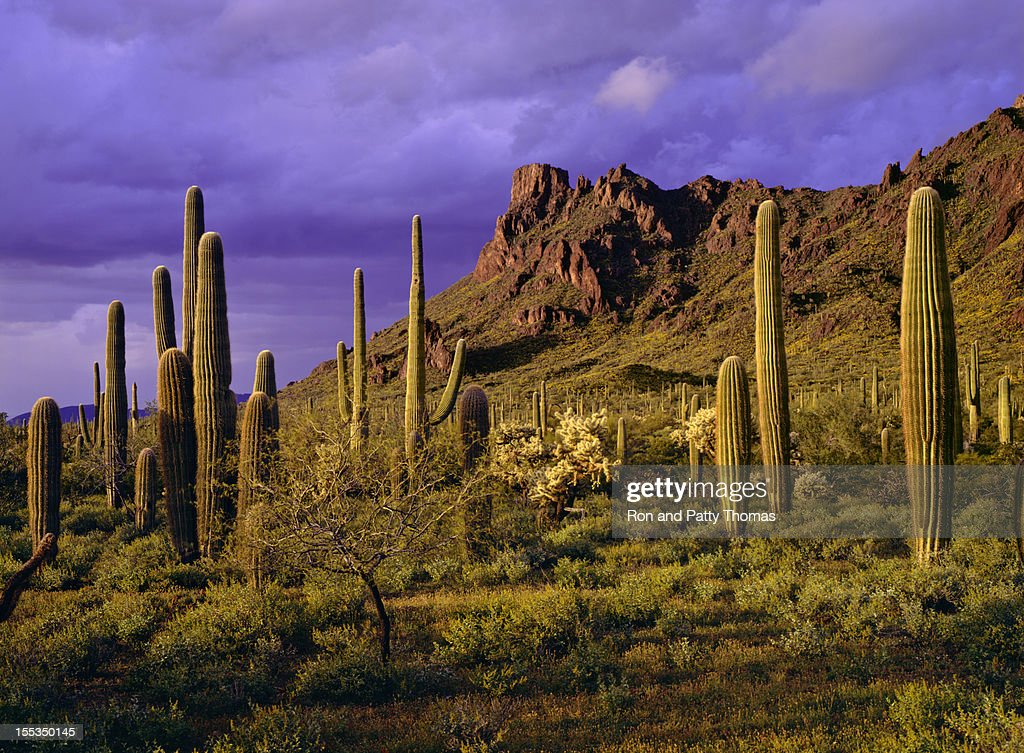Organ Pipe Cactus National Monument : Stock Photo