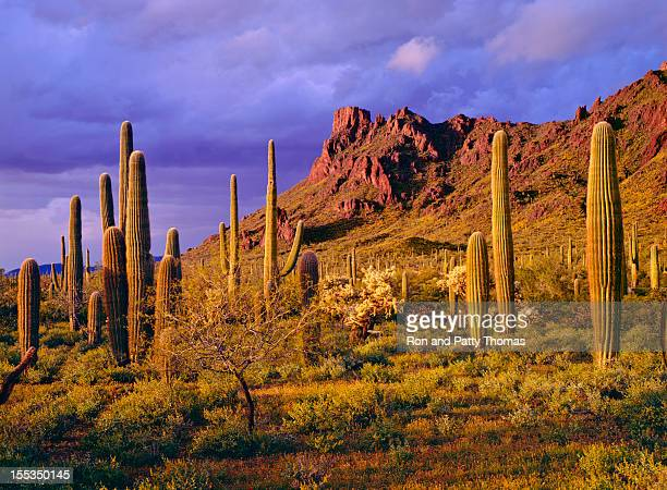 organ pipe cactus national monument - phoenix arizona stock photos and pictures