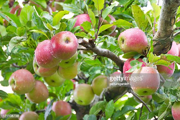 Organic Apples on Tree in Apple Orchard