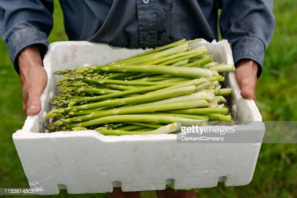 organic asparagus harvesting - asparagus stock pictures, royalty-free photos & images