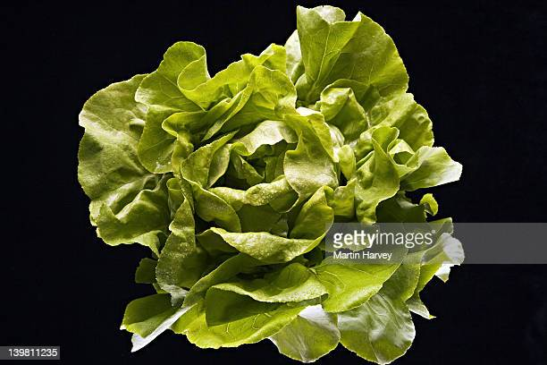 Organic Butter lettuce. Studio shot against black background.