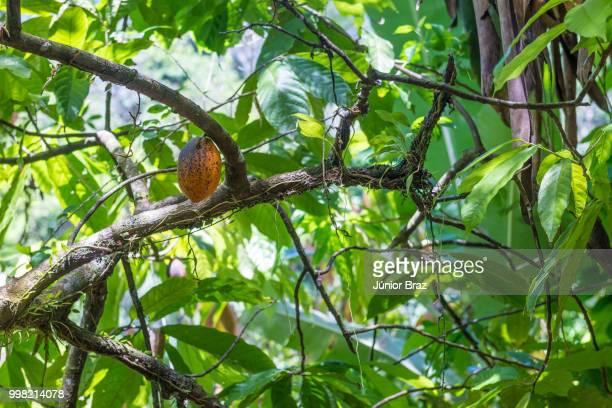 organic cacao fruit pods (theobroma cacao) in nature - theobroma foto e immagini stock