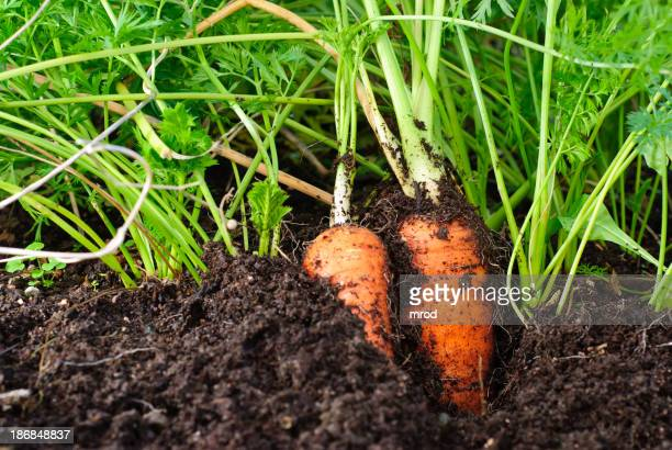 Organic carrots growing in the dirt