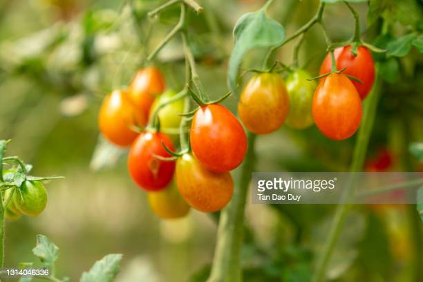 organic cherry tomatoes garden - high quality - rijp voedselbereiding stockfoto's en -beelden