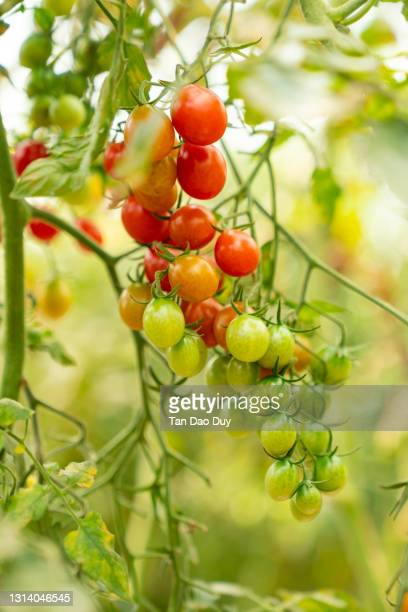 organic cherry tomatoes garden - high quality - unripe stock pictures, royalty-free photos & images