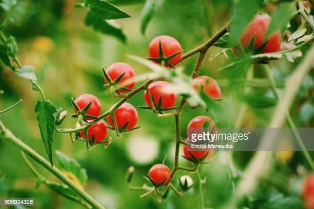 Organic Cherry tomatoes in garden