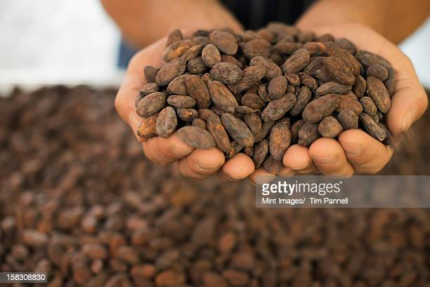 Organic Chocolate Manufacturing. A person holding a handful of cocoa beans, the seed of Theobroma cacao, raw materials for chocolate making.