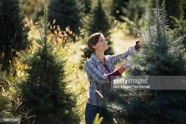 Bio-Weihnachten Bäume in plantation, die von einer Frau gestutzten