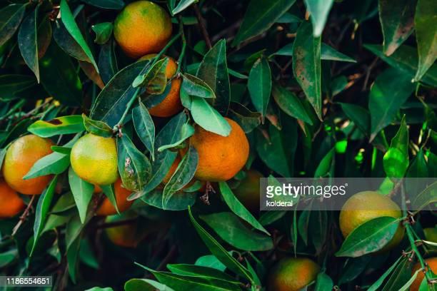 organic clementines on the tree - 果樹園 ストックフォトと画像