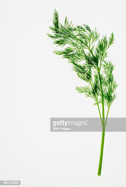 Organic dill (herb) on white background