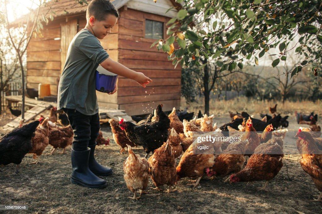 Granja orgánica y pollo huevos : Foto de stock