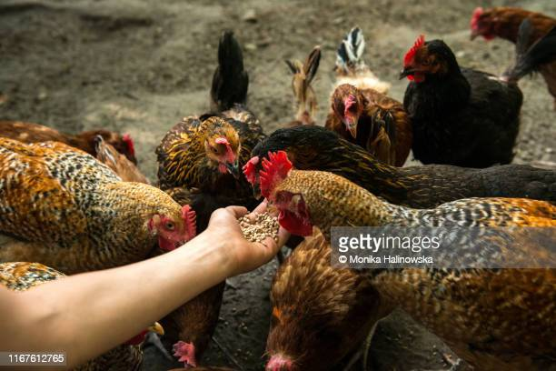 organic farm and free range chicken eggs - animal stock pictures, royalty-free photos & images