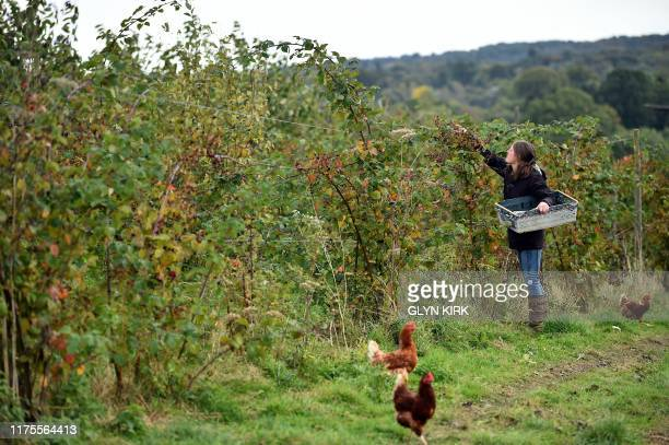 Organic farm comanager Ellie Woodcock picks blackberries on Brambletye Fruit Farm East Sussex on October 9 which is run to strict biodynamic...