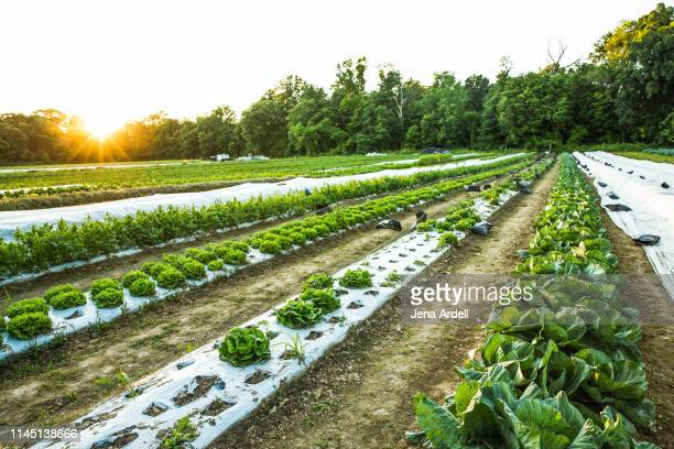 organic farm, organic farming, farm, farming, farm field, farm no people - organic farm stock pictures, royalty-free photos & images