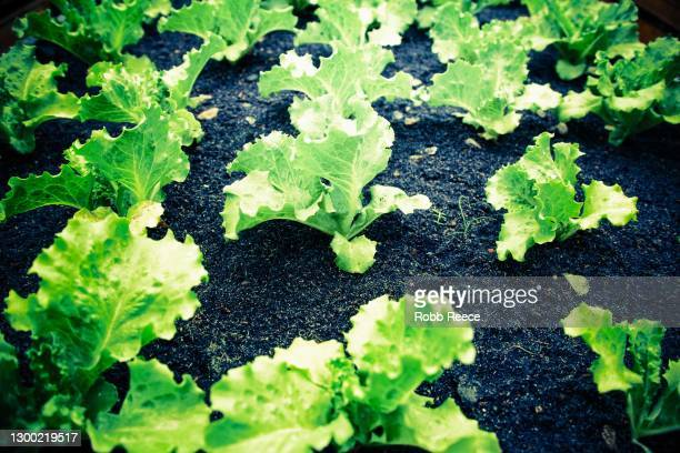 organic farm with fresh lettuce crop in costa rica - robb reece stock pictures, royalty-free photos & images