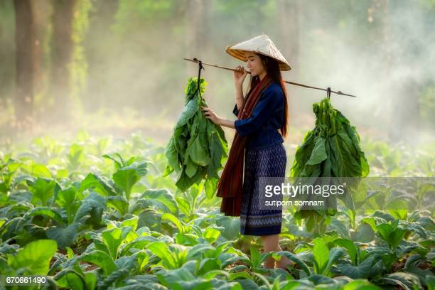 organic farm women are carrying tobacco leaf - landbouwgrond stockfoto's en -beelden